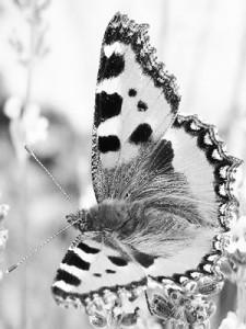 papillon_300x400